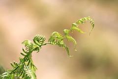 La plume du poète (CécileAF) Tags: canon colour countryside green furn bokeh nature macro dreamy wild forest summer tamron