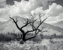 Charred Tree (dwblakey) Tags: california owensvalley blackandwhite monochrome easternsierra bishop outddors outdoors tree inyocounty mttom outside landscape unitedstates us