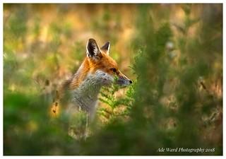 Fox at forest farm cardiff