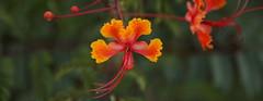 Flower 017 pc (Az Skies Photography) Tags: july 17 2018 july172018 71718 7172018 nature rio rico arizona az riorico rioricoaz sonoran desert sonorandesert canon eos 80d canoneos80d eos80d canon80d mexican bird paradise mexicanbirdofparadise flower bloom blossom yellow orange