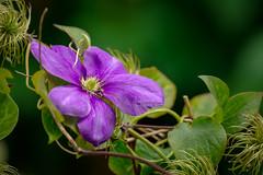 Simplement (Alexandre LAVIGNE) Tags: hdpentaxdfa150450mm pentaxk1 clématite fleur k1 nature saintquentin picardiehautsdefrance