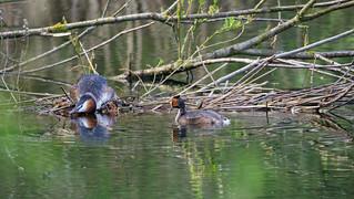 Haubentaucherpärchen beim Nest