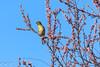 _DSC6708 (Inapapel) Tags: 2018 d7200 txingudi biodiversidad birds birdhunting birdphotografy birdwatching flickr fauna animals aves ave hegaztiak