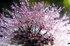 Dandelion in Backlight (kevin_art) Tags: dandelion dripsdropsandsplashes droplets droplet backlight backlitcloseup