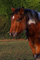 Phoenix IV (meniscuslens) Tags: foal filly rescue charity pony horse trust skewbald hedge field paddock aylesbury high wycombe princes risborough buckinghamshire