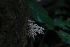 P4039349 Deflexula fascicularis. (razor4343) Tags: deflexulafascicularis deflexula arffungi arfp qrfp tropicalarf icicles cheepickcairns pterulaceae