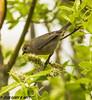 Bushtit (orencobirder) Tags: smallbirds flickrexport titmice birds