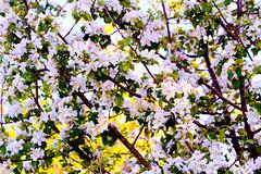 (Alin B.) Tags: alinbrotea nature spring april apple flower tree scent