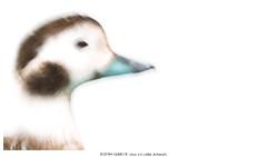 Aquarelle-like (Stefan Gerrits aka vanbikkel) Tags: norway varanger båtsfjord canon5dmarkiii canonef500mmf4liiusm nature wildlife vanbikkel bird birds ijseend eend longtailedduck duck alli clangulahyemalis