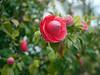 camellia (Jusotil_1943) Tags: 080418 desenfoque selectivo flores flowers flora camelia camellia