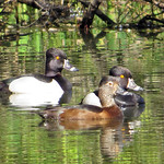 Ring-necked Duck thumbnail