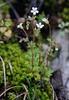 20180401-010F (m-klueber.de) Tags: 20180401010f 20180401 2018 mkbildkatalog veneto gardaseeberge italien italia italy lago di garda gardasee brenzone monte baldo europäische mitteleuropäische südeuropäische alpine mediterrane flora alpenflora alpen saxifragaceae steinbrechgewächse dreifingersteinbrech steinbrech saxifraga tridactylites