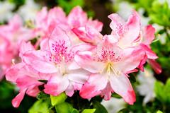 Azalea : ツツジ(躑躅) (Dakiny) Tags: 2018 spring april japan kanagawa yokohama aoba ichigao park city street plant tree flower azalea macro bokeh nikon d750 sigma macro50mmf28exdg sigmamacro50mmf28exdg nikonclubit