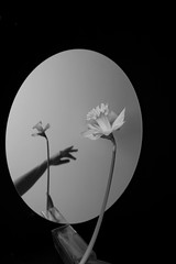 Out of reach (shminkeaa) Tags: stilllife flowers narcissus lowkey fineart