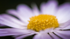 Minuscule (Xavier Ligonnet (Daftlive)) Tags: macro flower bokeh sun sunset light flare white yellow pink green grass macromondays