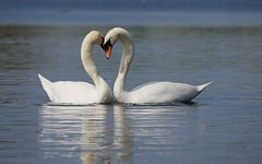 Mute swans (PhotoLoonie) Tags: muteswans swan wildlife nature waterbird attenboroughnaturereserve spring heart bird