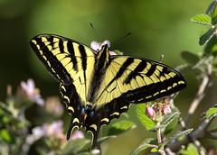 Tiger Swallowtail (Ed Sivon) Tags: america canon nature lasvegas wildlife wild western southwest desert clarkcounty vegas flickr