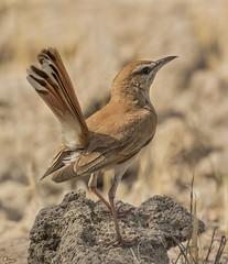 Alzacola rojizo (Antonio Lorenzo Terrés) Tags: alzacola rojizo ave bird pájaro nature naturaleza fauna árido