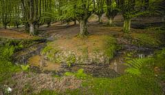 Hayedo de Otzarreta V (Jose Peral Merino) Tags: otzarreta hayedodeotzarreta rio agua water bosque forest vizcaya paisvasco helechos hayas tree landscape