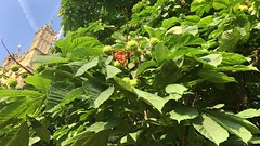 Horse Chestnut (Aesculus hippocastanum) - Cathedral & leaves - July 2018 (Exeter Trees UK) Tags: horse chestnut aesculus hippocastanum cathedral leaves july 2018
