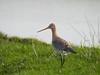 Black-tailed godwit (Corine Bliek) Tags: limosalimosa bird birds vogel vogels weidevogels waders nature wildlife