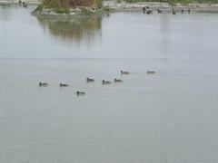 DSCN9977 (Gianluigi Roda / Photographer) Tags: wetlands marsh waterbirds latesummer september 2012 oasi oasiwwflarizza