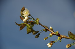 First blossom (Sundornvic) Tags: spring blossom growth nature plants flower flowering sun shine garden