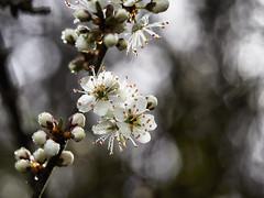 Spring! (Maggie's Camera) Tags: blackthorn spring flowers tree bokeh pembrokeshire 2018