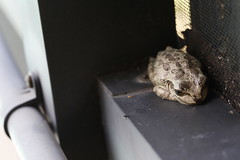 Alive: yes! Playing dead! (Carol (vanhookc)) Tags: gopherfrog macrounlimited smile centralflorida