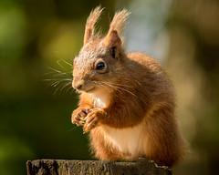 Red Squirrel ( explored ) (Chris-Henry) Tags: mountstewartredsquirrels wild wildlife nature countydown northernireland ireland endangered haven