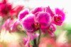 Orchids (JMS2) Tags: flowers digitalart floral pinks orchids spring fresh