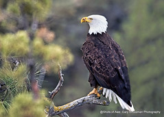 Sitting Pretty (Gary Grossman) Tags: eagle predator closeup wild wildlife bird nature oregon garygrossmanphotography baldeagle pacificnorthwest centraloregon wildlifephotography trees pines