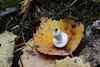 крохотная (sevbette) Tags: грибы осень лес