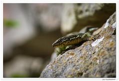 Lézard des murailles (C. OTTIE et J-Y KERMORVANT) Tags: nature animaux reptiles lézards lézarddesmurailles suisse