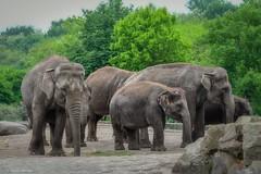 den Elefanten ganz nah (sigridspringer) Tags: natur tiere säugetiere dickhäuter pflanzenfresser tierpark friedrichsfelde asiatische elefanten