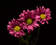 Perky 1008 (Tjerger) Tags: nature flowers bloom blooms blooming daisy daisies plant natural flora floral blackbackground portrait beautiful beauty black green fall wisconsin macro closeup yellow three trio pink plower