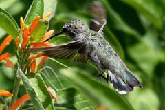 Anna's Hummingbird-4 (johnaalex) Tags: d850 nikonafs80400f4556g bird hummingbird bif california usa
