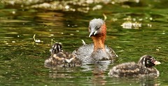 wet'n'dry (westoncfoto) Tags: cromfordcanal matlock derbyshire canal industrial dabchick littlegrebe babies fish
