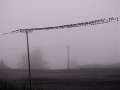 Grounded by fog (HamsterView) Tags: fog starlings caithness