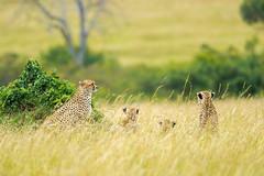 Cheetahs (Mujtaba Hussain Shah) Tags: cheetahs kenya africa gamedrive safari masaimaranationalreserve predators