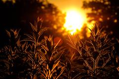 Golden hour at its finest (Nicholas Erwin) Tags: sunset goldenhour plants nature contrast dusk evening summer flare lens bokeh depthoffield dof golden warm fujifilmxt2 fujixt2 fuji fujifilm xt2 xf60mmf24rmacro xf60 fujixf6024 6024 waterbury vermont vt unitedstatesofamerica usa fav10 fav25 fav50