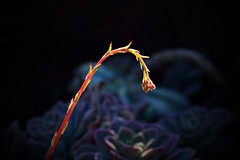 Plant life in winter (roanfourie) Tags: 70300mmafpdx experiment flower flowers plant plants light day outdoors green blue yellow orange bokeh photography nikon d3400 nikkor 70300mm ed dx afp vr f63 dslr raw gimp flickr southafrica africa westrand randfontein coldmonths winter july 2018 july242018 theuncommonbeautyofcommonobjects