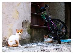 "22 - And they call it summer. ""Gatti al fresco/The cool cats"" (claudio.feleppa) Tags: gatti estate cats agosto august canonpowershots95 bicicletta paesimolisani"