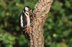 Pica-pau malhado grande // Dendrocopos major // Great spotted woodpecker (Jangada2011) Tags: picapaumalhadogrande dendrocoposmajor greatspottedwoodpecker