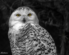 Epic Stare (Donna Brittain - See what I see) Tags: torontoontariocanada wildlife bird eyes snowyowl black animals torontozoo stare selectivecollour white fauna predator