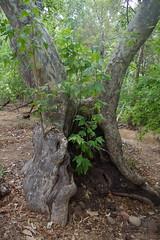 sycamore sprouting from ancient trunk (EllenJo) Tags: sedonaarizona oakcreek july6 heather heathersvisit sedona summerinaz pentaxks1 sycamore tree newgrowth oldtree new old oldandnew green