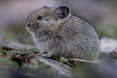 Pika (juvenile) (Tony LePrieur) Tags: cute wild fur whiskers squeak