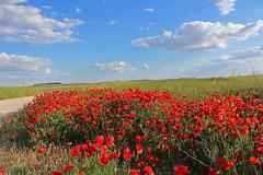 No es una tarde cualquiera (Alfredo Juan & Maisa Dos Santos) Tags: primavera spring pinto valdemoro españa espanha spain spagna madrid paisaje flores rosas cielo sky