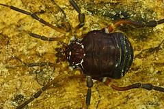 Opiliones, Gonyleptidae, Parapachyloides uncinatus, female (aracnologo) Tags: chapadadaibiapaba sítiodoalemão ceará brasil ibiapaba ubajara opiliones opilião harvestman harvestmen gonyleptoidea gonyleptidae