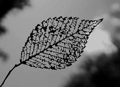 Skeletal Remains (timvandenhoek1) Tags: ashtree leaf blackandwhite backyard missouri midwest japanesebeetles sonyilce6000 sigma30mmf14dcdncontemporaryemount timvandenhoek